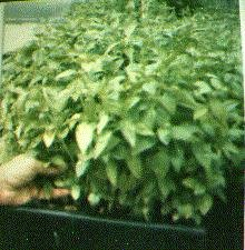 Grow in densities 10 times higher per sq meter  the other types of traditional growing including hydroponics
