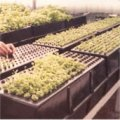 Once the seed or cuttings are planted inside the chamber. Plants develop quickly because of the hydro-atomized misting