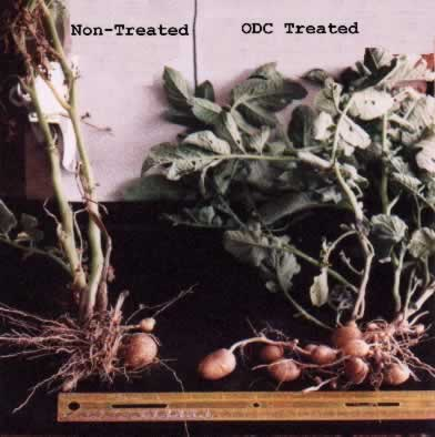 Potato harvest comparison without and with ODC