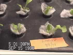 Day 10: Lettuce seedlings using Seed-Pads