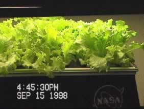 Waldmann's Green leaf lettuce produced aeroponicly - NASA research