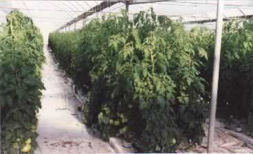 Aeroponic started tomato plants from cuttings -  harvest tomatoes in 30 -35 days!